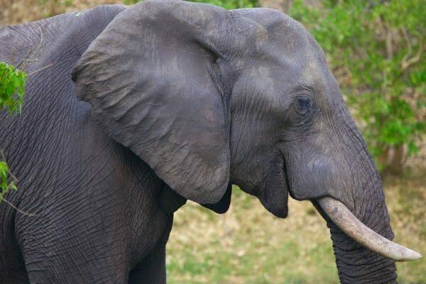 Elefant im Savute camp Botswana: Botswana Camping