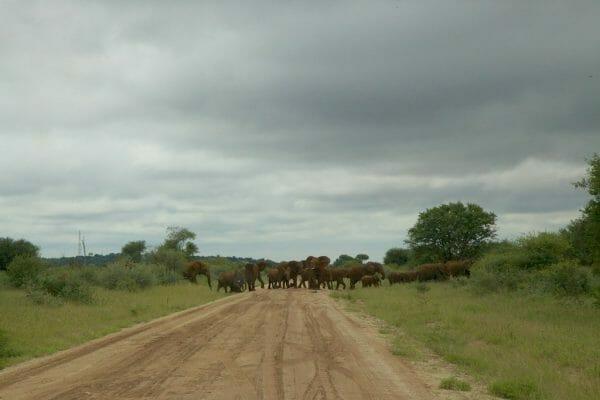 Madikwe Elefanten blockieren die Strasse: Botswana Safari Tipps