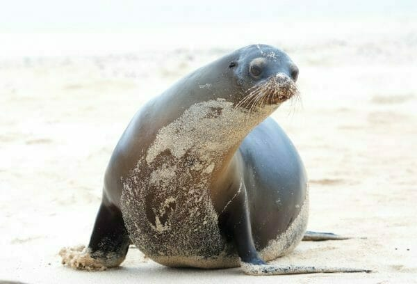 Galapagos Seelöwe San Cristobal