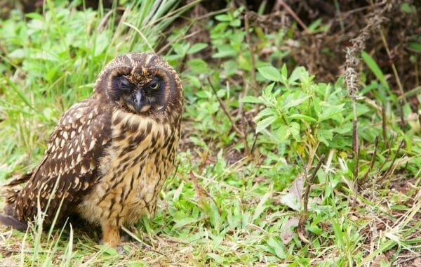 Galapagos short-eared owl Santa Cruz