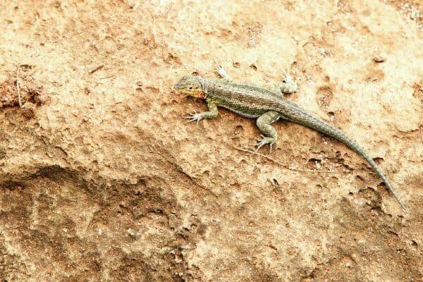 Santa Cruz Galapagos lizard