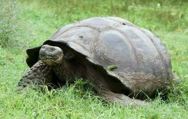 Galapagos Santa Cruz Riesenschildkröte
