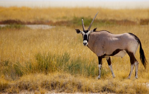 Etosha Oryx by DC Loew