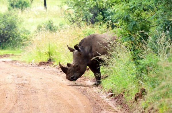 Nashörner im Pilanesberg NP