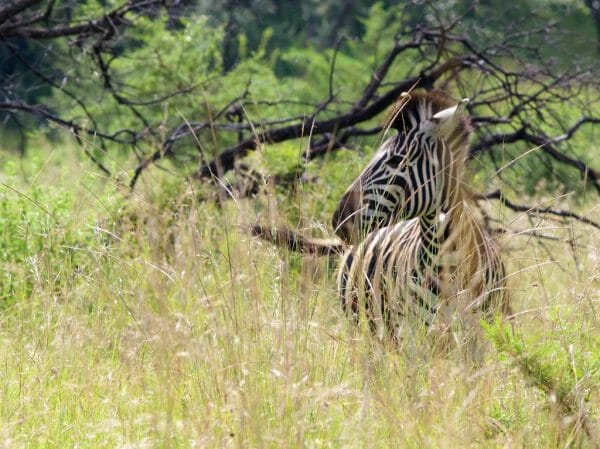Safari Pilanesberg