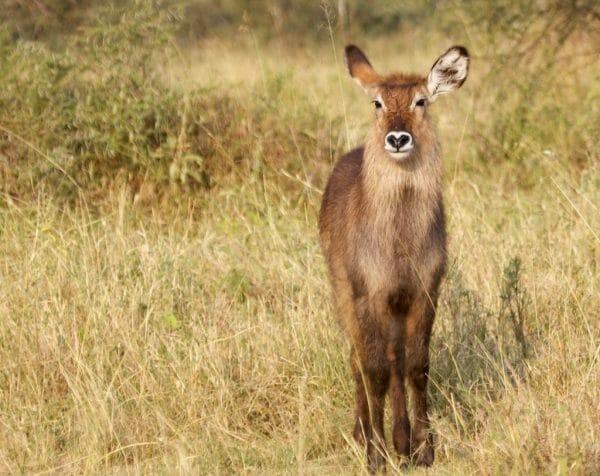 Serengeti Bushbuck Safari Reiseblog