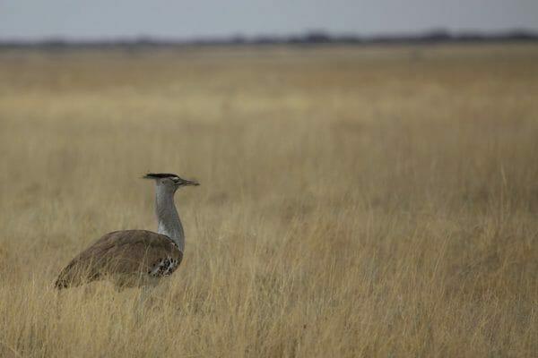 Cory bustard. Namibia Etosha individuell