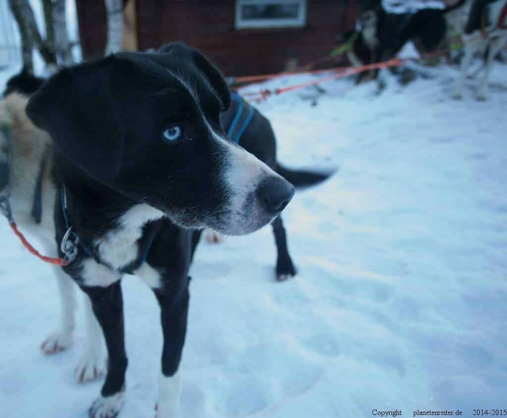 Alaska Husky im Norden Nowegens