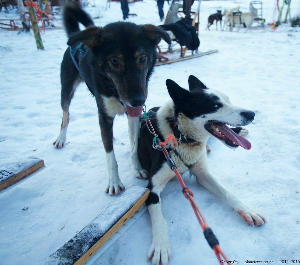 Alaska Huskies Norwegen