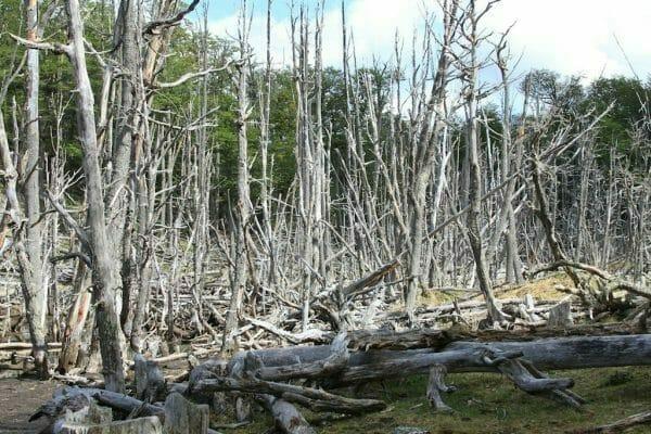 Titel Wald in Feuerland